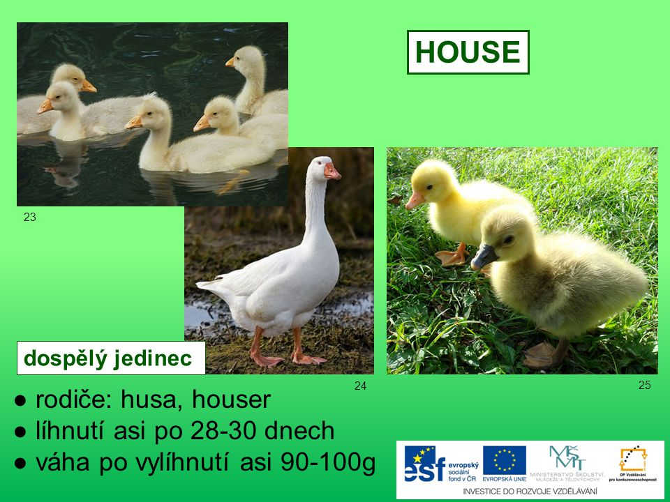 HOUSE ● rodiče: husa, houser ● líhnutí asi po 28-30 dnech