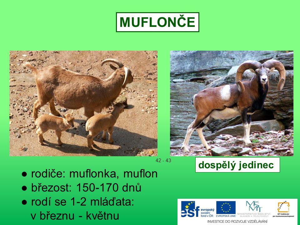 MUFLONČE ● rodiče: muflonka, muflon ● březost: 150-170 dnů