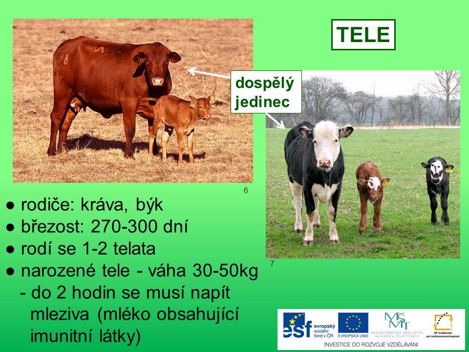 TELE ● rodiče: kráva, býk ● březost: 270-300 dní ● rodí se 1-2 telata