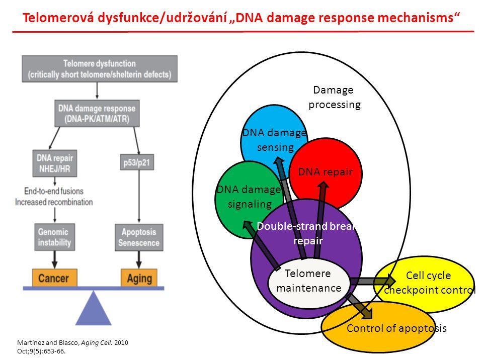 """Telomerová dysfunkce/udržování """"DNA damage response mechanisms"""