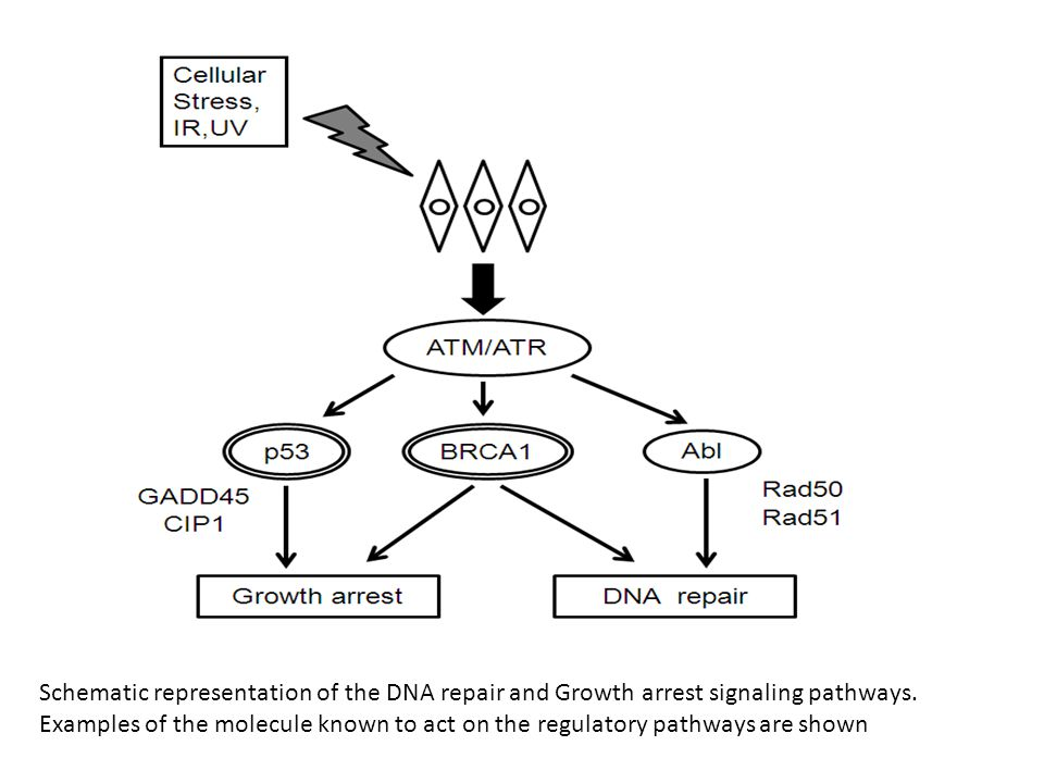 Schematic representation of the DNA repair and Growth arrest signaling pathways.