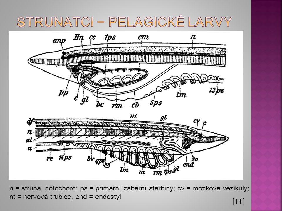 Strunatci − Pelagické larvy