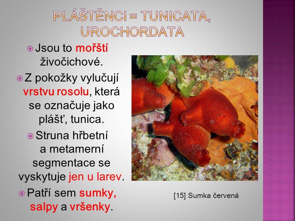 Pláštěnci = tunicata, urochordata