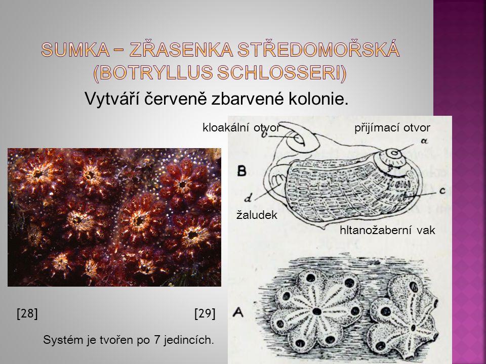 Sumka − zřasenka středomořská (Botryllus schlosseri)