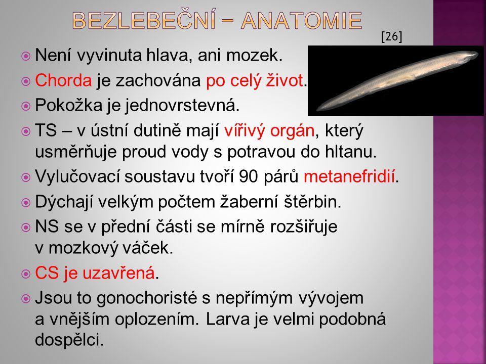 BEZLEBEČNÍ − anatomie Není vyvinuta hlava, ani mozek.