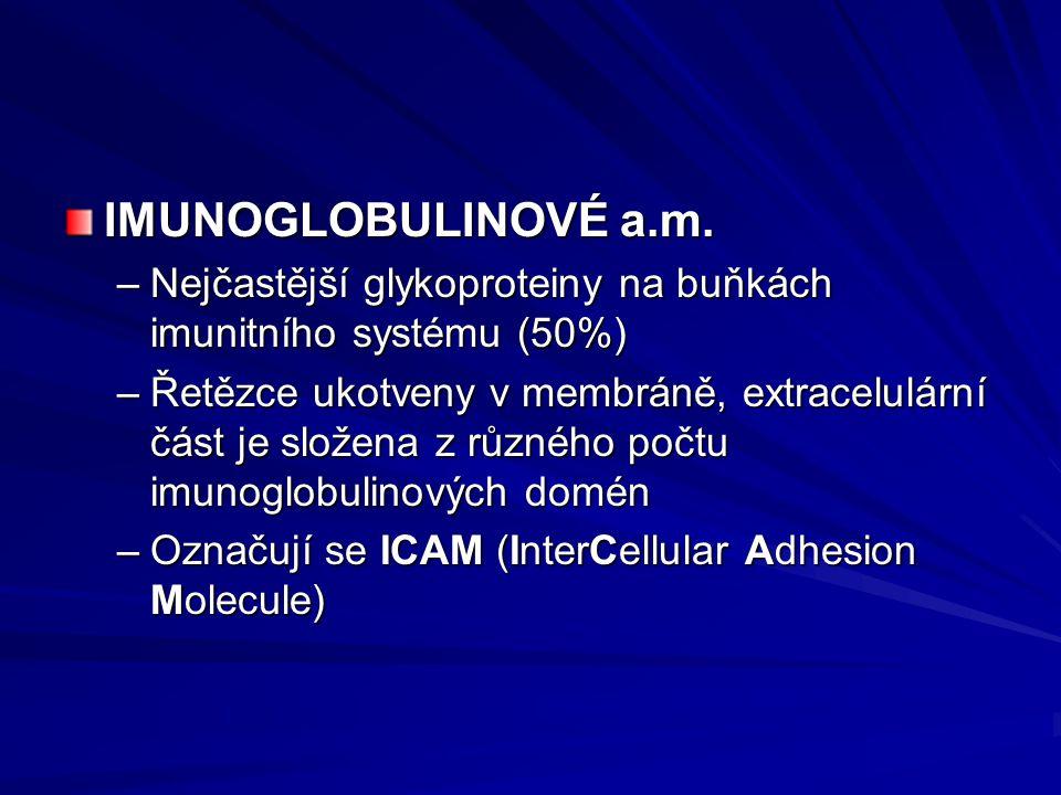 IMUNOGLOBULINOVÉ a.m. Nejčastější glykoproteiny na buňkách imunitního systému (50%)