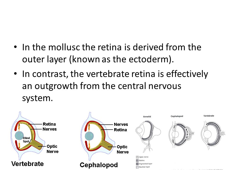 In the mollusc the retina is derived from the outer layer (known as the ectoderm).