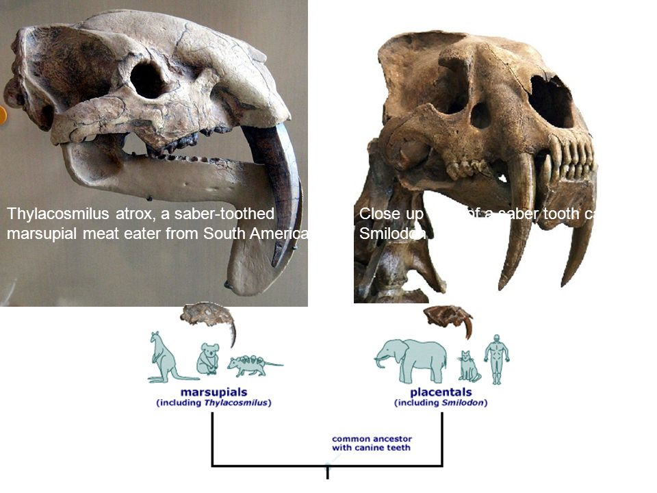Thylacosmilus atrox, a saber-toothed marsupial meat eater from South America.
