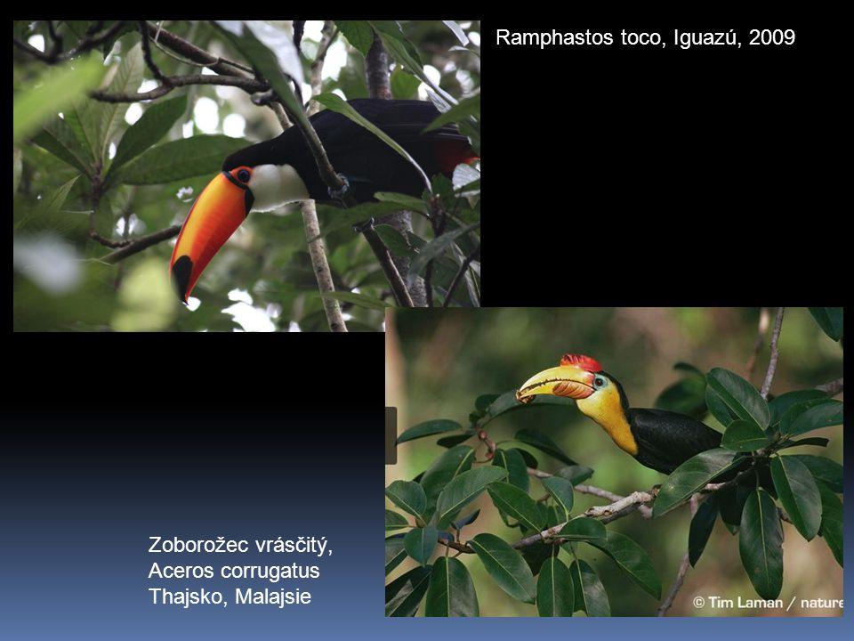 Ramphastos toco, Iguazú, 2009