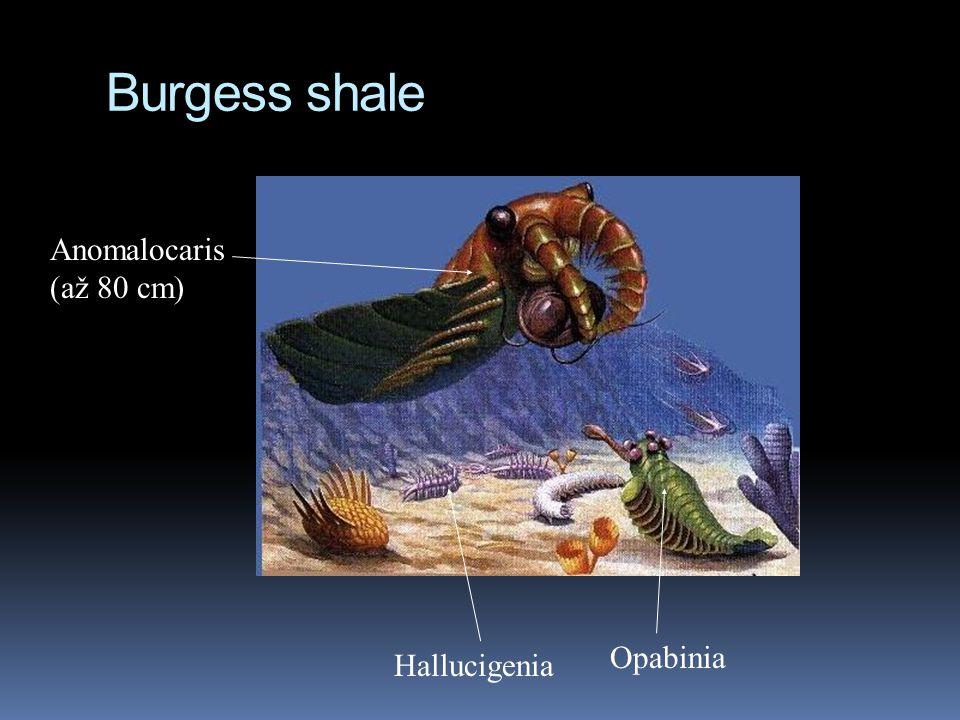 Burgess shale Anomalocaris (až 80 cm) Opabinia Hallucigenia