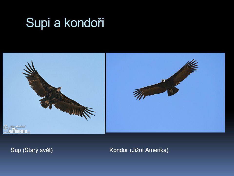 Supi a kondoři Sup (Starý svět) Kondor (Jižní Amerika)