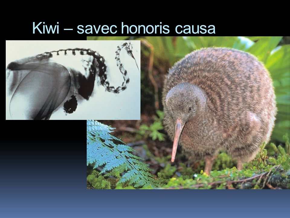 Kiwi – savec honoris causa