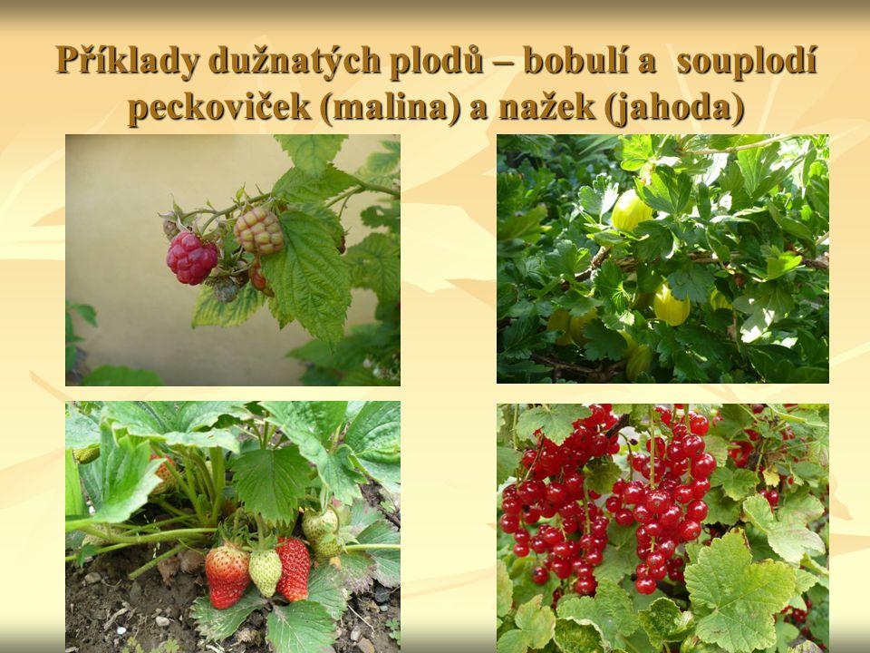 Příklady dužnatých plodů – bobulí a souplodí peckoviček (malina) a nažek (jahoda)