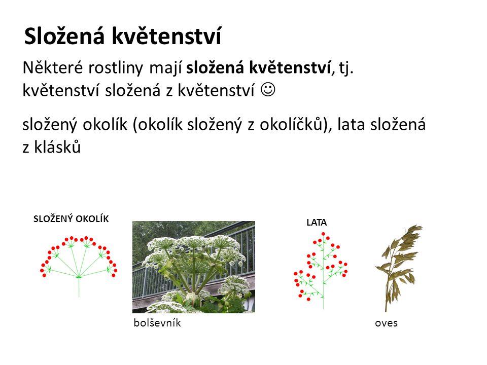 Složená květenství Některé rostliny mají složená květenství, tj. květenství složená z květenství 