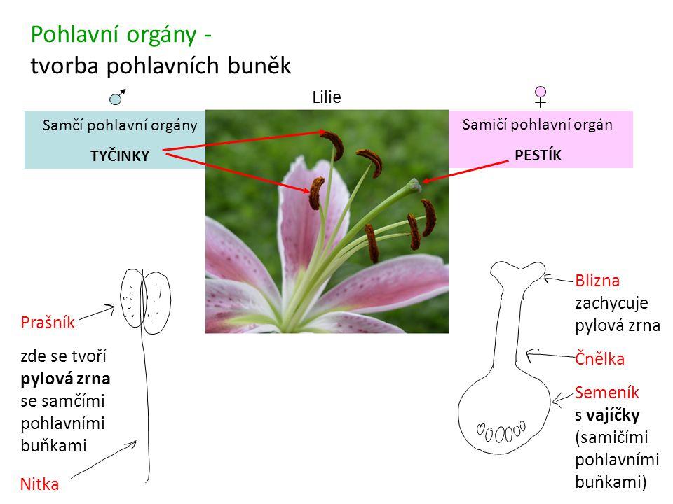 tvorba pohlavních buněk