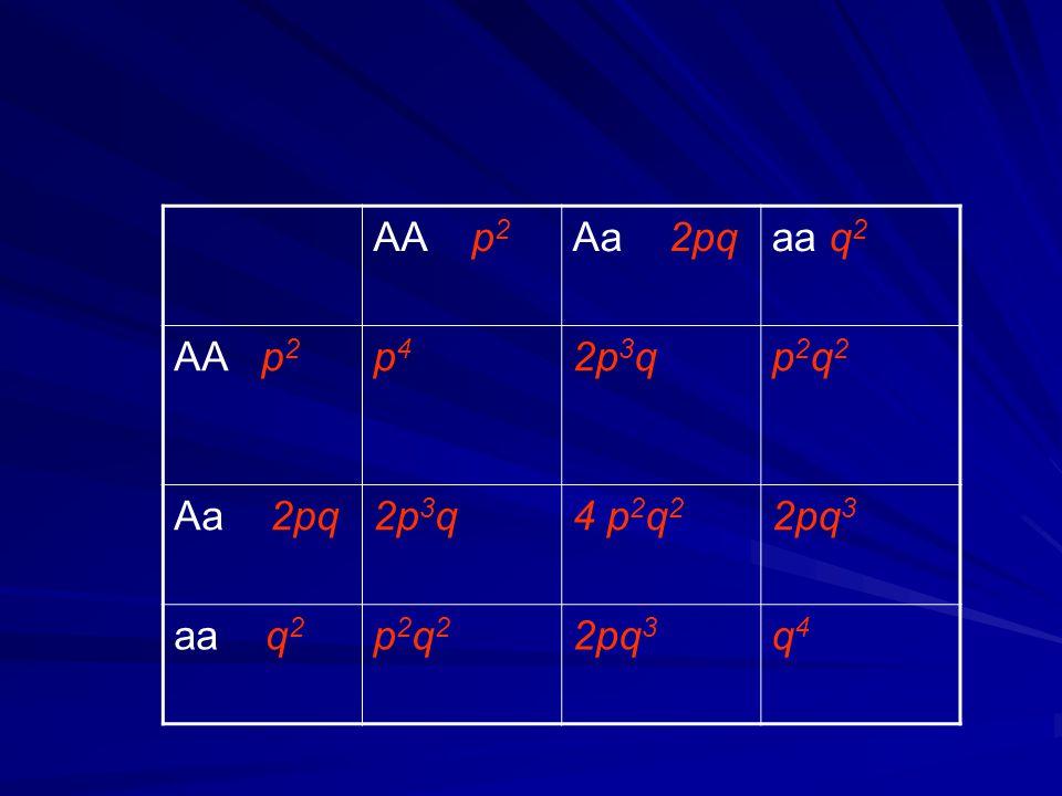 AA p2 Aa 2pq aa q2 AA p2 p4 2p3q p2q2 4 p2q2 2pq3 aa q2 q4