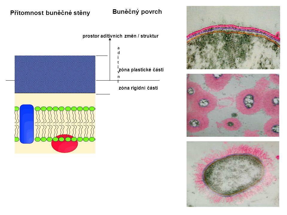 Přítomnost buněčné stěny Buněčný povrch