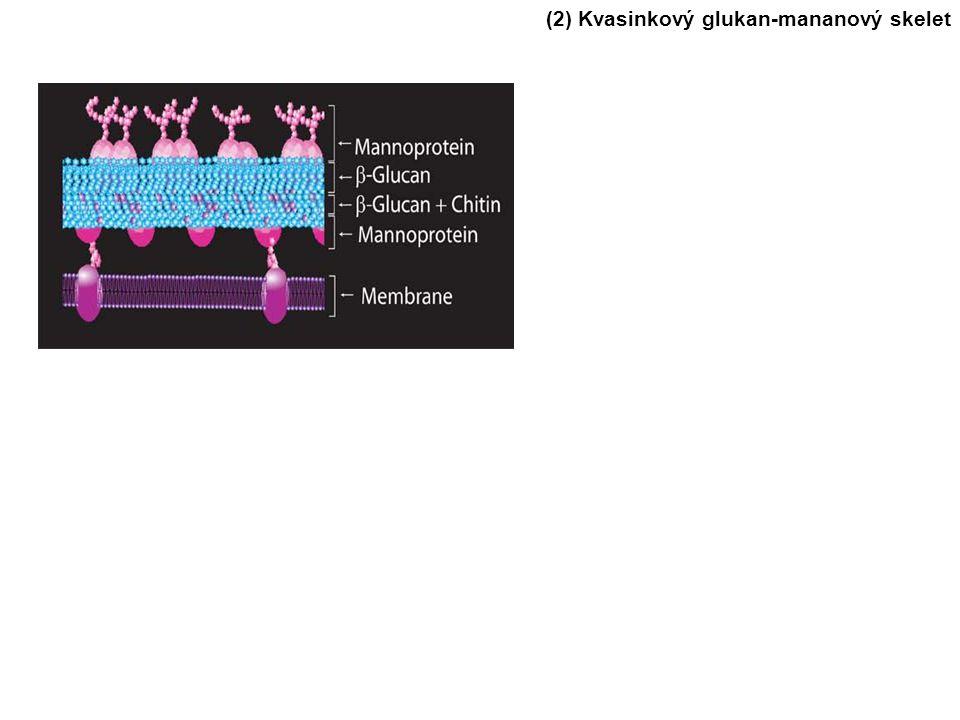 (2) Kvasinkový glukan-mananový skelet