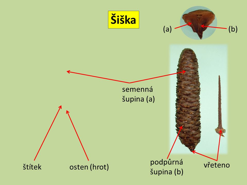 Šiška (a) (b) semenná šupina (a) podpůrná šupina (b) vřeteno štítek