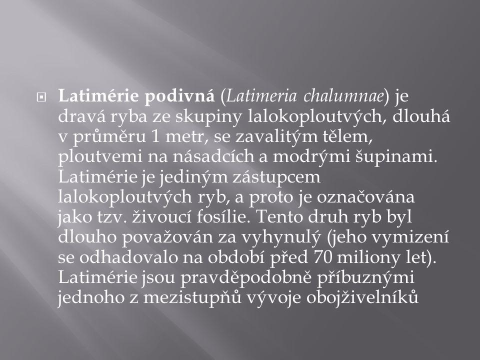 Latimérie podivná (Latimeria chalumnae) je dravá ryba ze skupiny lalokoploutvých, dlouhá v průměru 1 metr, se zavalitým tělem, ploutvemi na násadcích a modrými šupinami.