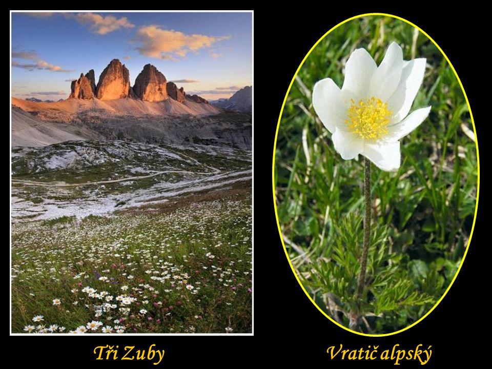 Tři Zuby Vratič alpský