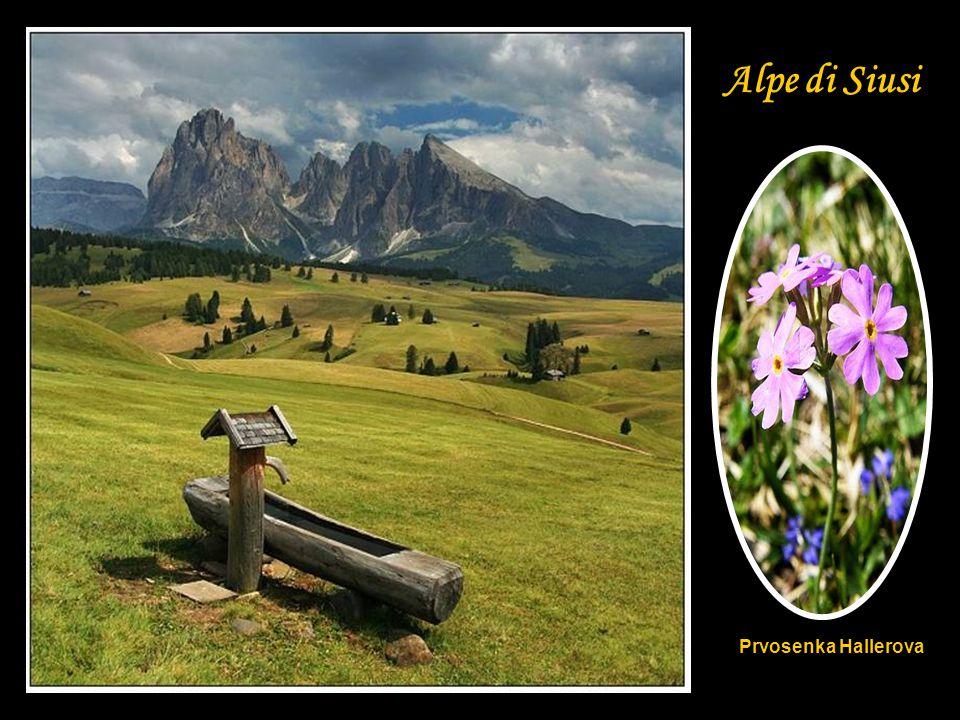 Alpe di Siusi Prvosenka Hallerova