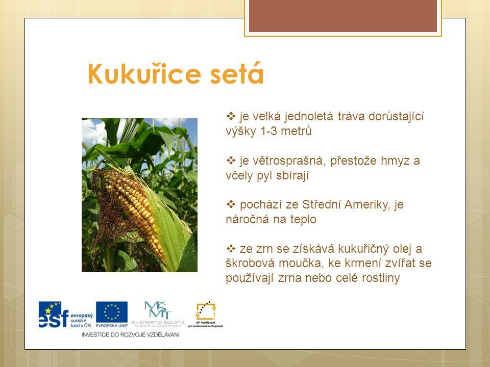 Kukuřice setá je velká jednoletá tráva dorůstající výšky 1-3 metrů