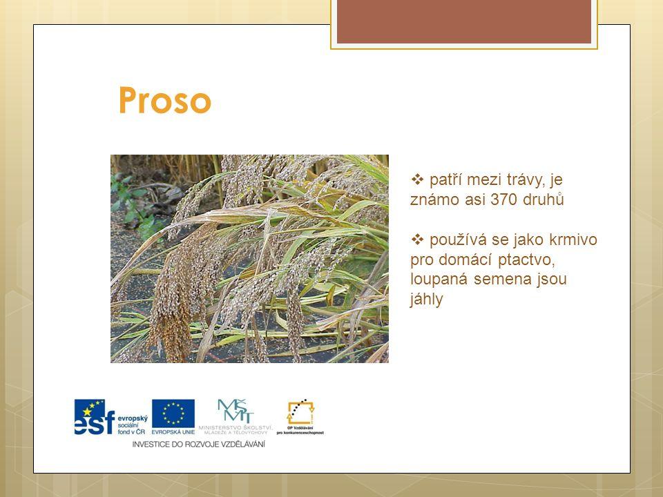 Proso patří mezi trávy, je známo asi 370 druhů