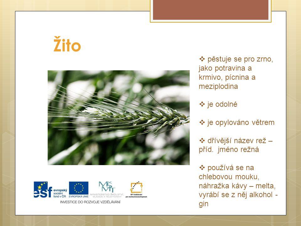 Žito pěstuje se pro zrno, jako potravina a krmivo, pícnina a meziplodina. je odolné. je opylováno větrem.