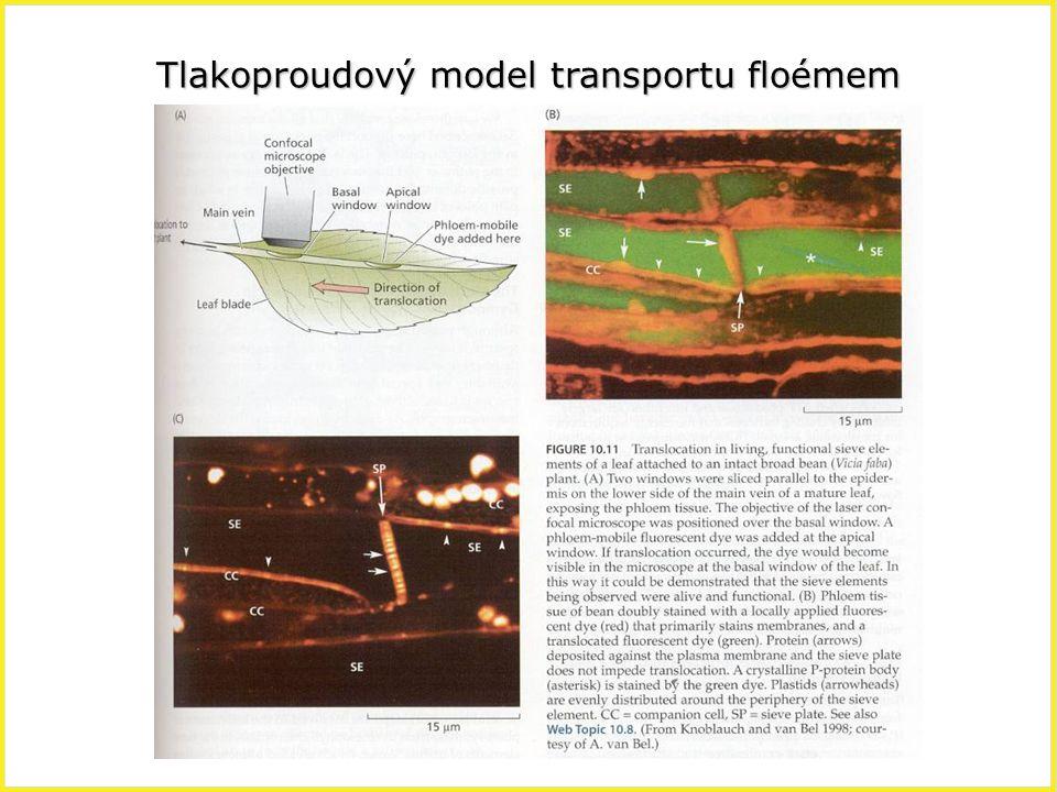 Tlakoproudový model transportu floémem
