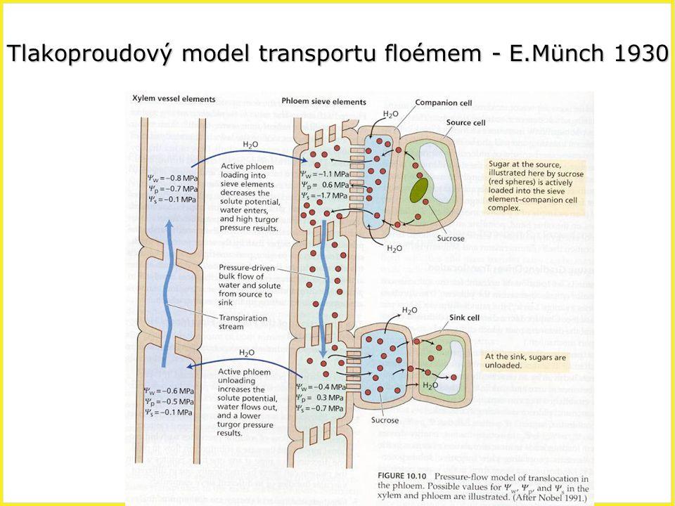 Tlakoproudový model transportu floémem - E.Münch 1930