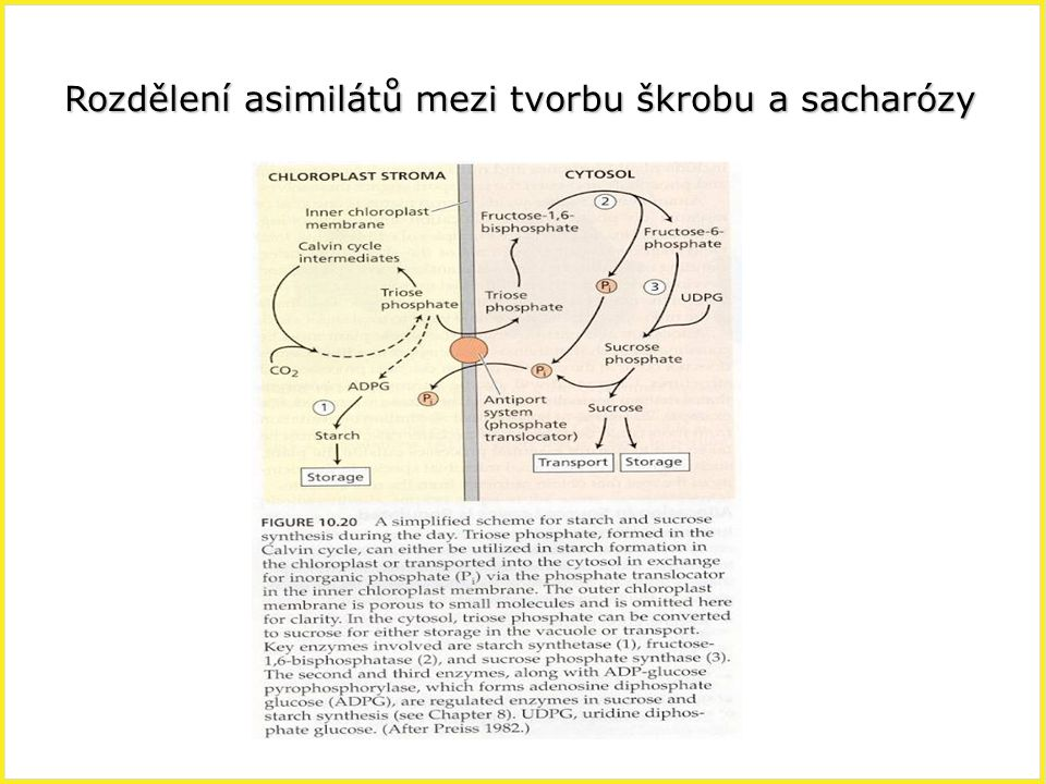 Rozdělení asimilátů mezi tvorbu škrobu a sacharózy