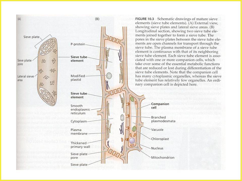 Sítkové políčko, p-protein, sítkovice, průvodní buňka