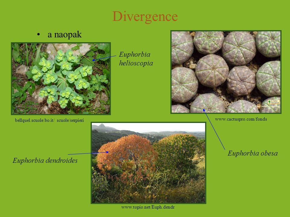 Divergence a naopak Euphorbia helioscopia Euphorbia obesa
