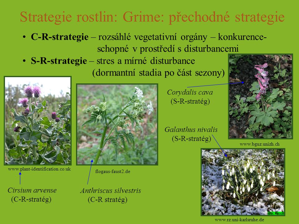 Strategie rostlin: Grime: přechodné strategie