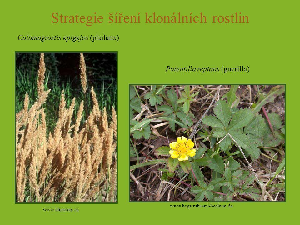 Strategie šíření klonálních rostlin