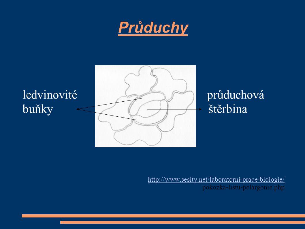 Průduchy ledvinovité průduchová buňky štěrbina
