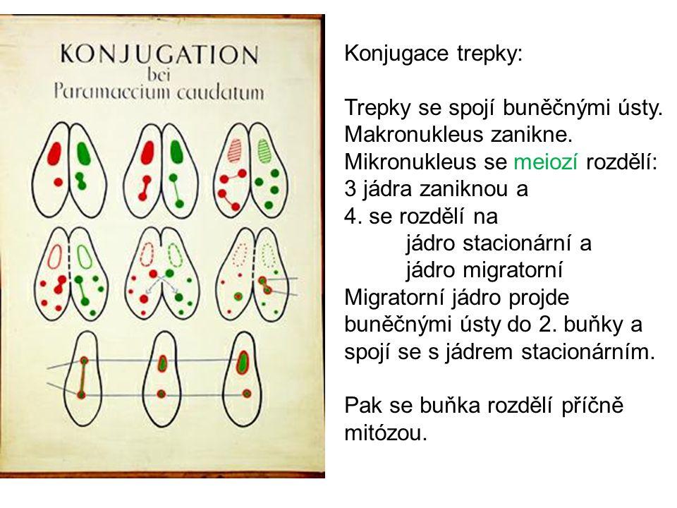 Konjugace trepky: Trepky se spojí buněčnými ústy. Makronukleus zanikne. Mikronukleus se meiozí rozdělí: