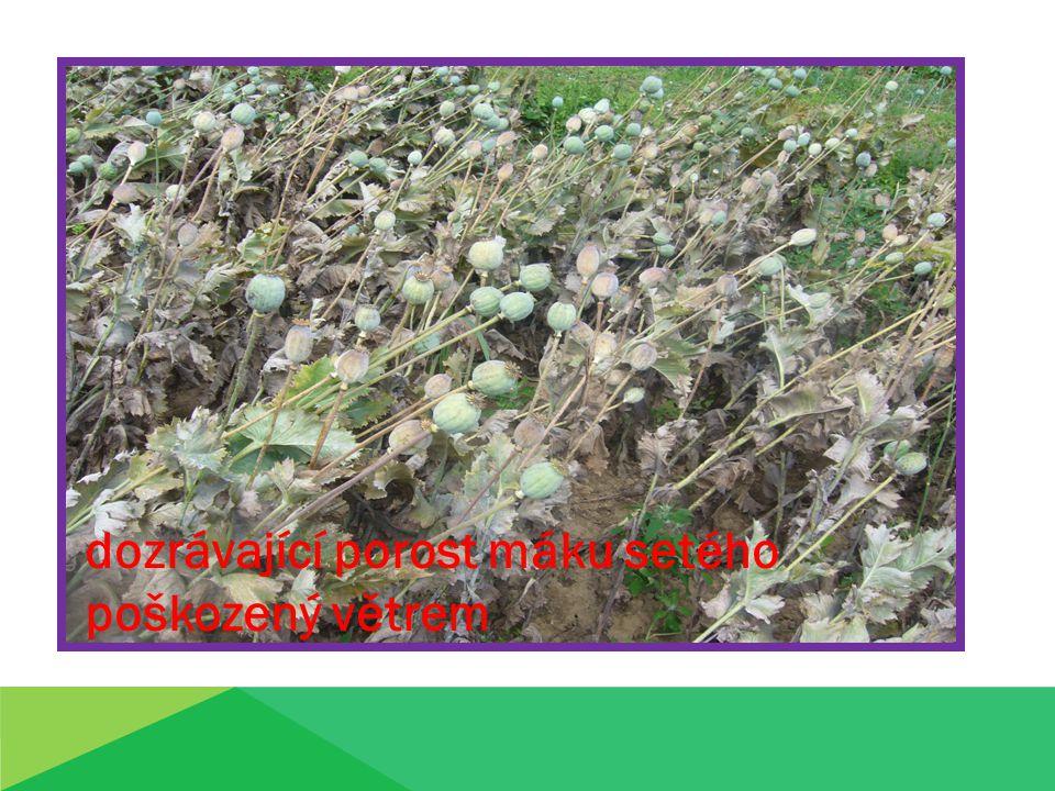 dozrávající porost máku setého poškozený větrem