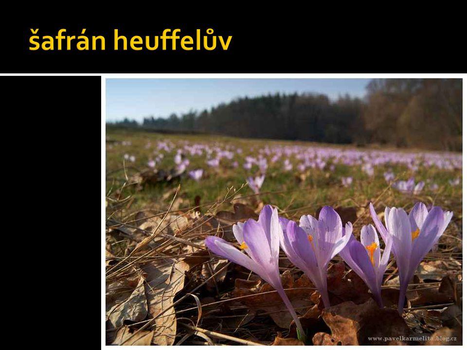 šafrán heuffelův