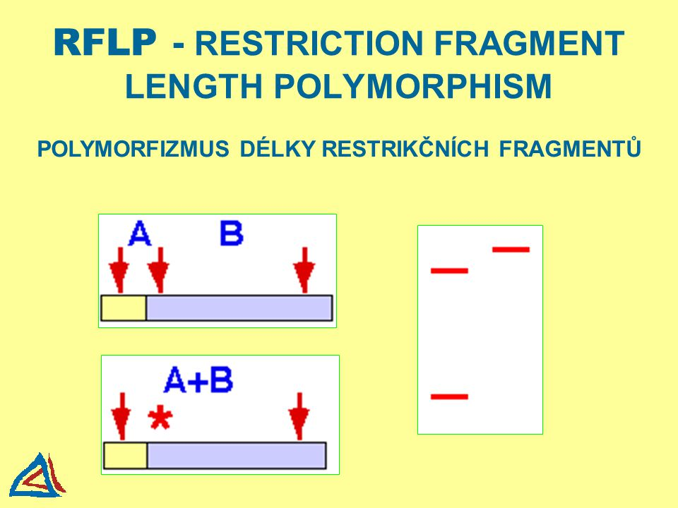 RFLP - RESTRICTION FRAGMENT LENGTH POLYMORPHISM
