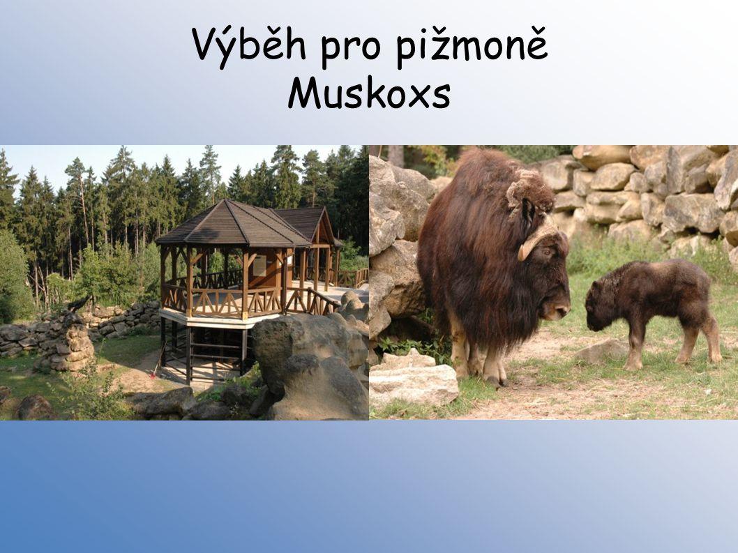 Výběh pro pižmoně Muskoxs
