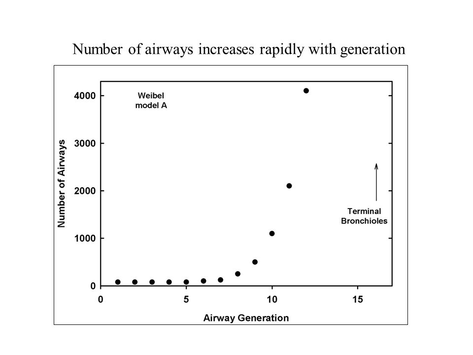 Number of airways increases rapidly with generation