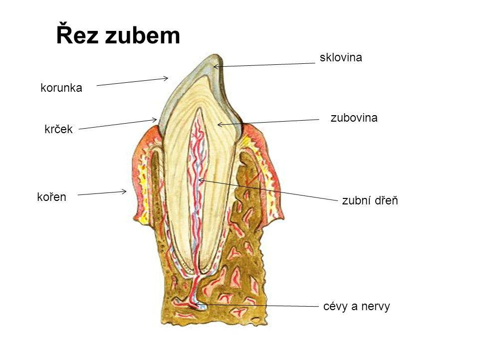 Řez zubem sklovina korunka zubovina krček kořen zubní dřeň