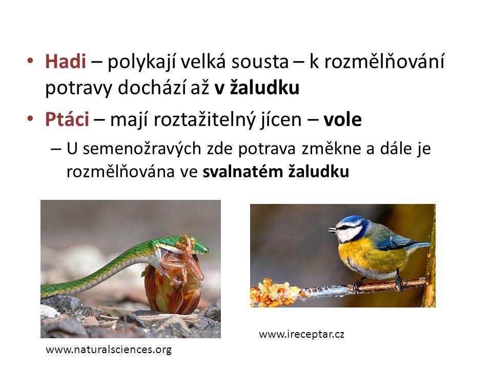 Ptáci – mají roztažitelný jícen – vole