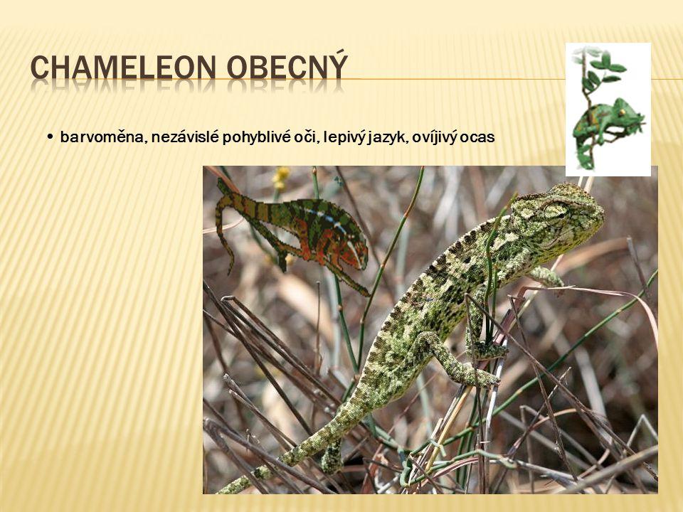 Chameleon obecný • barvoměna, nezávislé pohyblivé oči, lepivý jazyk, ovíjivý ocas
