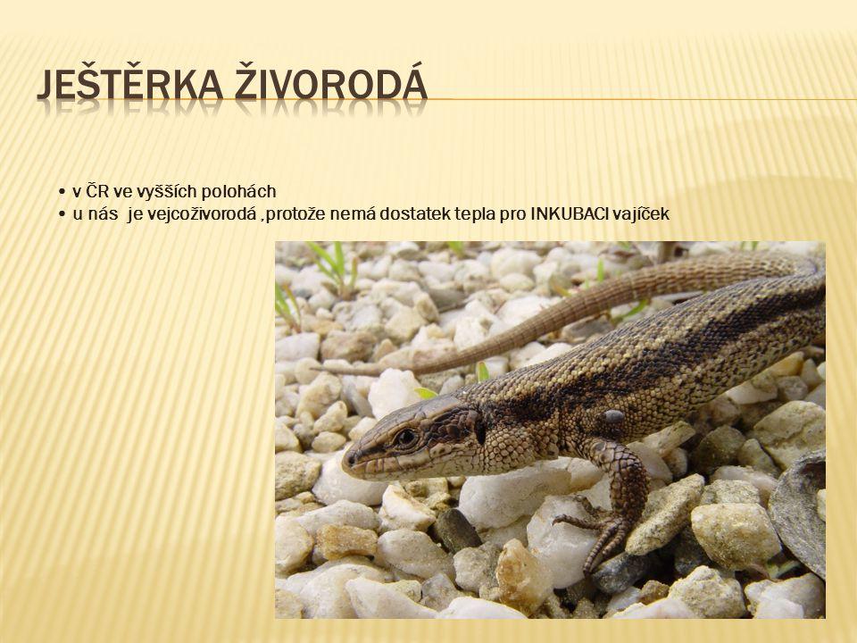 Ještěrka živorodá • v ČR ve vyšších polohách