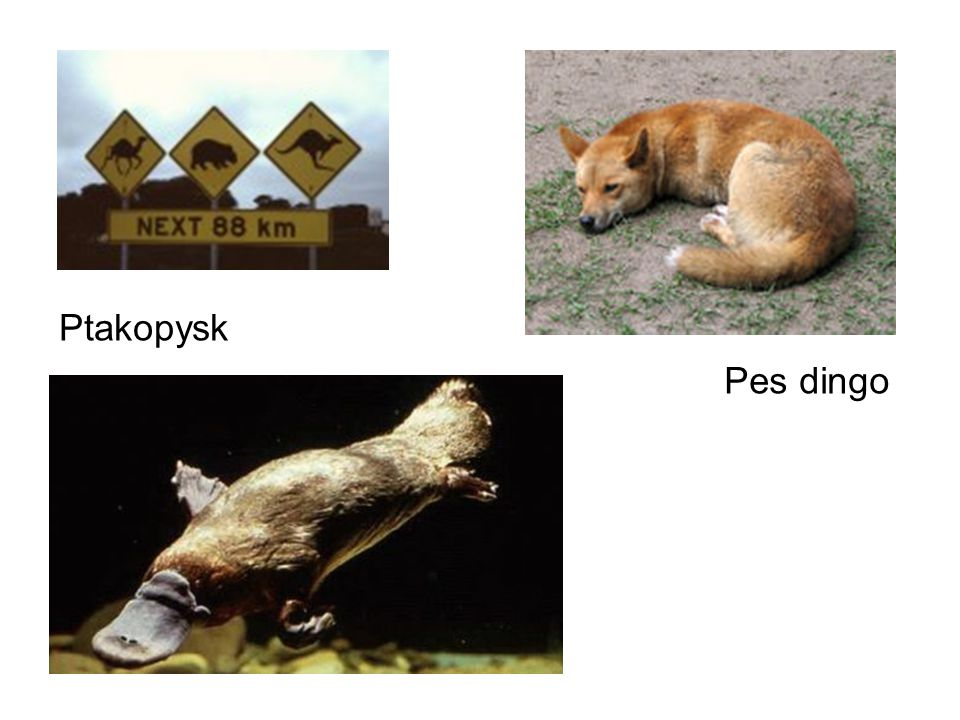 Ptakopysk Pes dingo