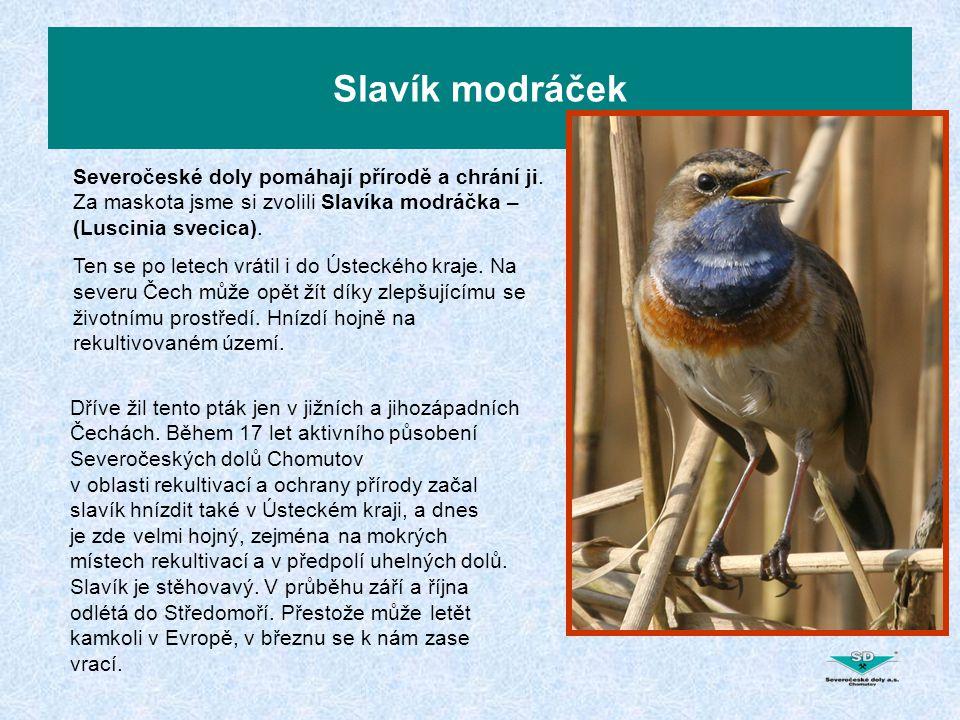 Slavík modráček Severočeské doly pomáhají přírodě a chrání ji.