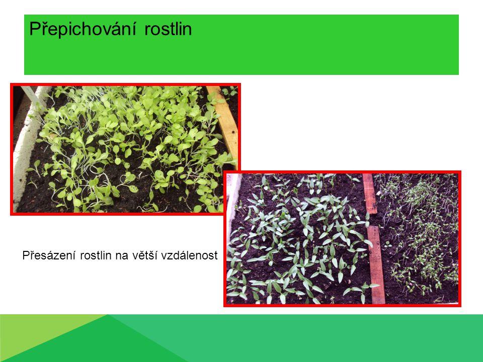Přepichování rostlin Přesázení rostlin na větší vzdálenost
